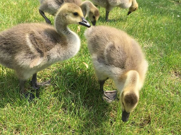 Goslings Gosling Geese Family Geese Duck Baby Animals Grass Young Animal Group Of Animals Young Bird Animal Themes Animal Plant Vertebrate Land Green Color No People Field Bird Gosling Goose Nature Animal Family Animals In The Wild Day Animal Wildlife The Great Outdoors - 2018 EyeEm Awards