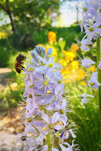 Flower Insect Fragility Nature Petal Animal Themes One Animal Growth Beauty In Nature Animals In The Wild Plant Freshness Flower Head Day Outdoors Bee Focus On Foreground No People Animal Wildlife Close-up Shaw Nature Reserve HoneyBee Missouri Native Pollination