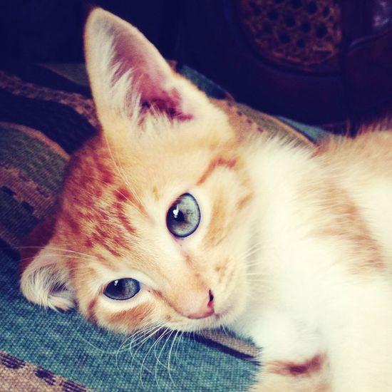 The new member of our family... Half-persian kitten Vegas ?❤️