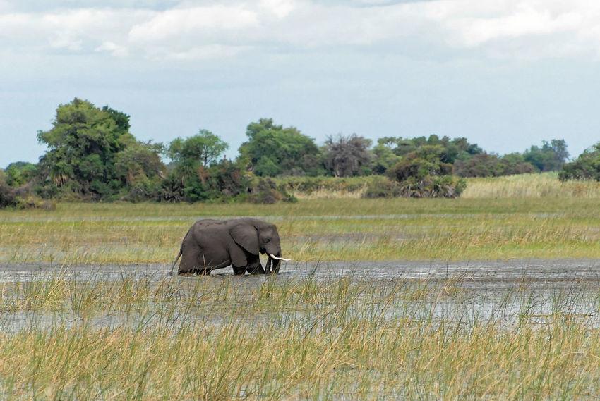 Botswana Botswana African Elephant Animal Themes Animal Trunk Animal Wildlife Animals In The Wild Beauty In Nature Day Elephant Field Grass Landscape Mammal Nature No People One Animal Outdoors Safari Animals Side View Sky Tree Tusk