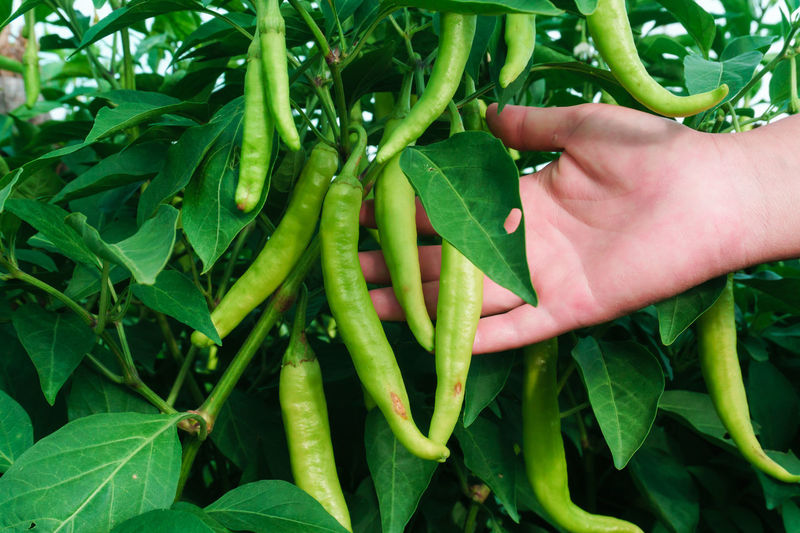 Cropped hand of person showing chilies hanging on tree