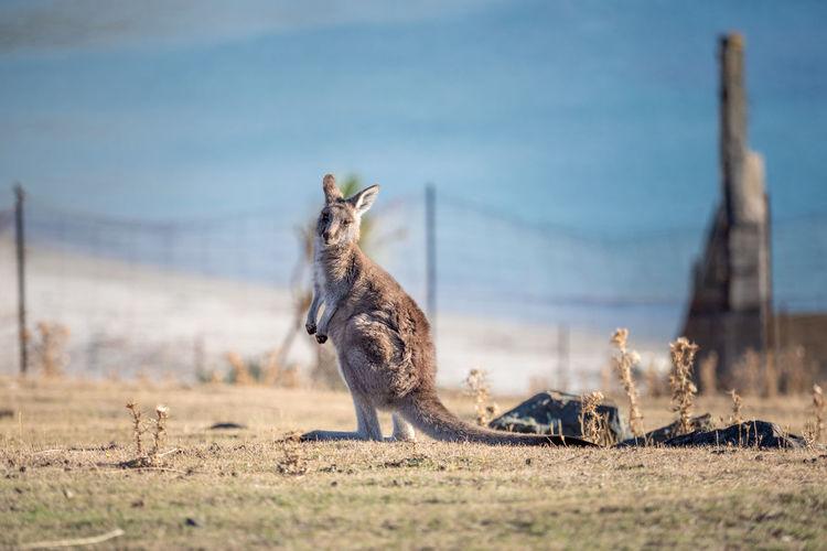 Wallaby on field