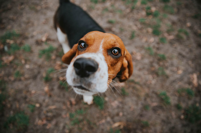 Animal Themes Beagle Close-up Day Dog Domestic Animals High Angle View Looking At Camera Mammal Nature No People One Animal Outdoors Pets Portrait