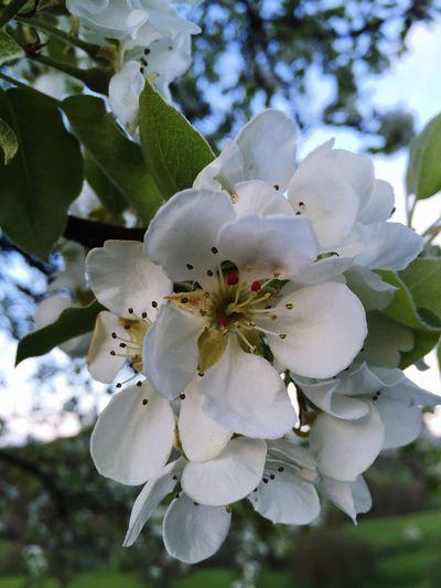 Blüten Kirschen