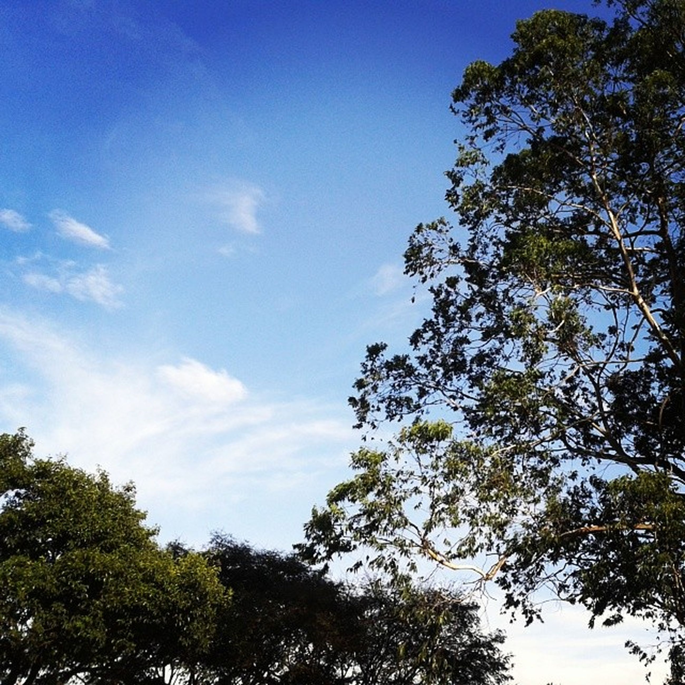 low angle view, tree, blue, growth, sky, nature, beauty in nature, branch, tranquility, green color, day, scenics, outdoors, no people, sunlight, high section, tranquil scene, clear sky, cloud, leaf
