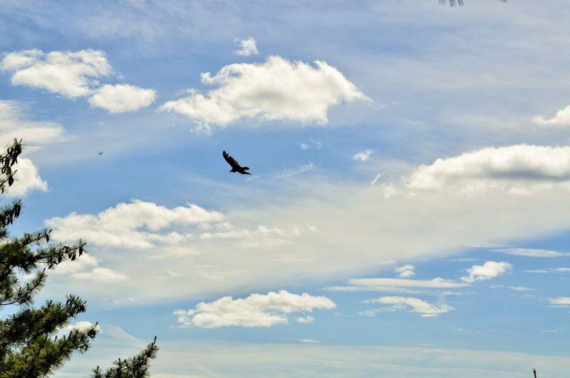 Bird Flying Tree Bird Of Prey Airshow Vulture Sky Cloud - Sky Spread Wings