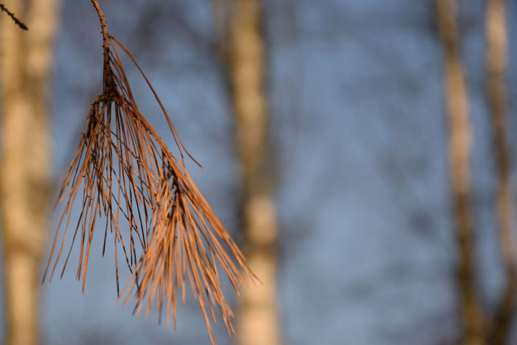 Dry pine branch Pine Tree Pinus Plant Selective Focus Close-up No People Focus On Foreground Nature Day Beauty In Nature Tree Tranquility Outdoors Brown Dry Low Angle View Hanging Dead Plant Pattern Dried Plant Twig