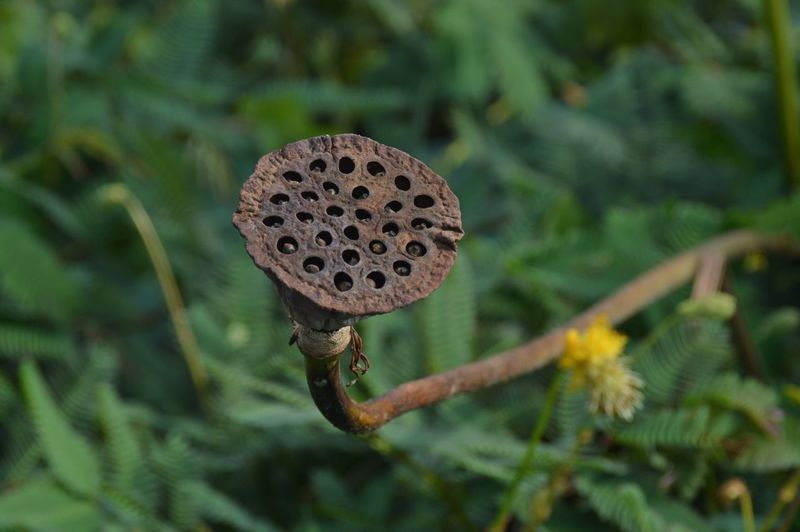 Close-up of dry lotus pod