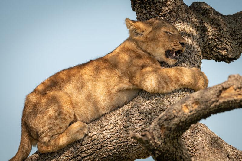 Cub on branch of tree