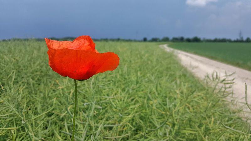 Grass Red Field Rural Scene Day Outdoors No People Nature Growth Poppy Flower Close-up Sky Rapsfeld Klatschmohn Way Cloudy Thunderclouds Germany
