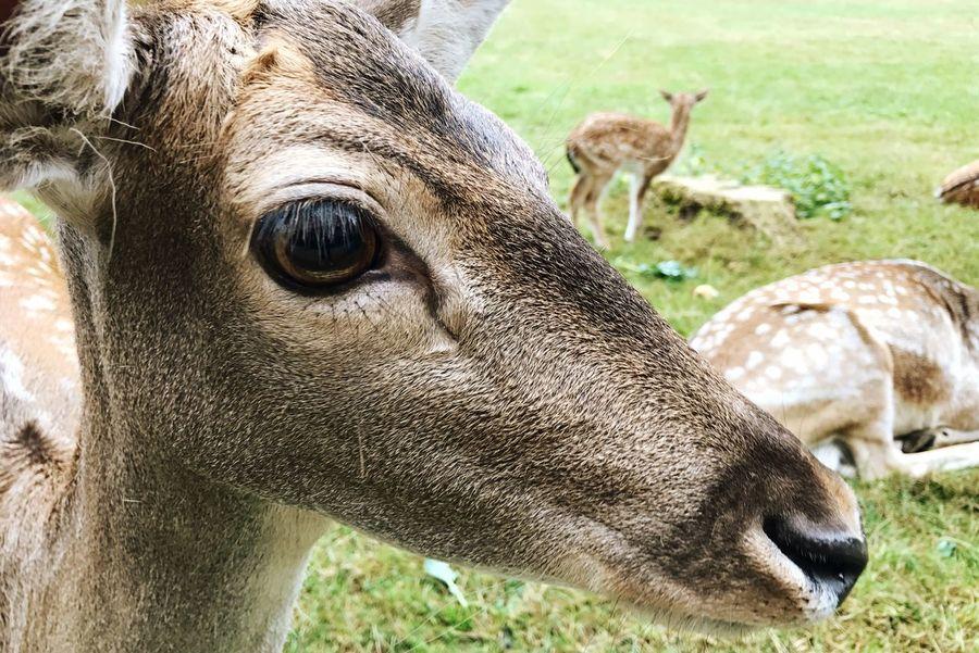 Deer Roe Deer Animal Head  Animals Side View Deer Wildlife Herbivorous Outdoors
