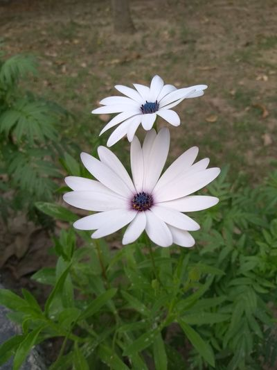 Serenity.... White Flower White Flowers White Flowers And Buds Green Color Greenery White Center Blossom White Color White Flower Flower Head Flower Osteospermum Eastern Purple Coneflower Petal Close-up Plant Blooming Growing Bud