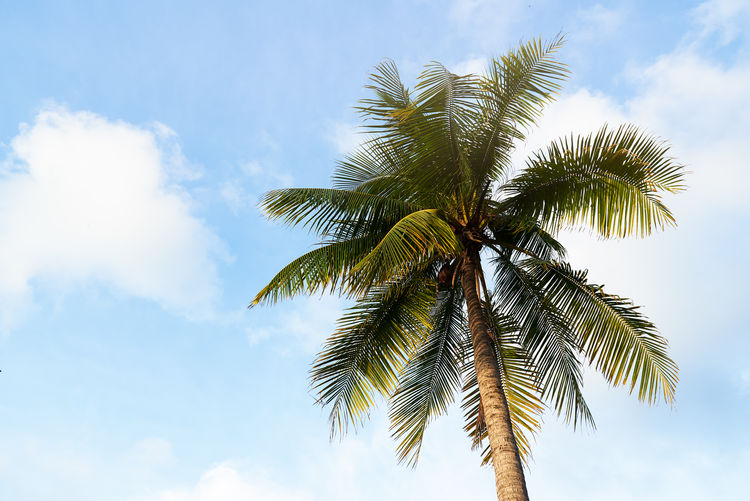 A coconut tree on sunny day, clear and blue sky background Palm Tree Blue Sky Green Background Beach Coconut Sun Leaf Tropical Nature Beautiful Summer Sunny Travel Vacation Exotic Paradise Outdoor Holiday Plant Sea Tropic Tourism Cloud Natural Sunlight Landscape Scene Relax Beauty Clear Palm Tree Tropical Climate Growth Cloud - Sky Trunk Coconut Palm Tree Outdoors