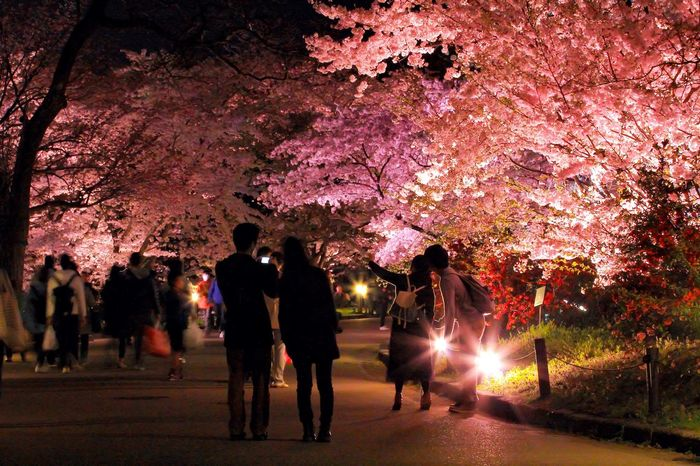 Showcase April Yozakura 夜桜 Cherry Blossoms Spring EyeEm Nature Lover EyeEm Best Shots 京都府立植物園 Flower 桜
