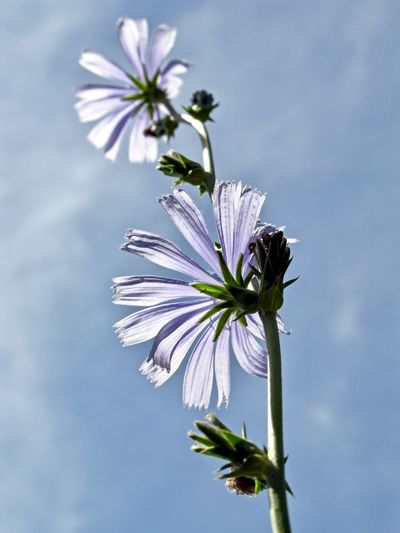 Argentina, Neuquen province: Malva moschata; Blue malva in a field. Backlight Beauty In Nature Blue Close-up Day Flower Flower Head Flowering Plant Fragility Freshness Growth Inflorescence Low Angle View Malva Nature No People Outdoors Patagonia Petal Plant Plant Stem Purple Sepal Sky Vulnerability