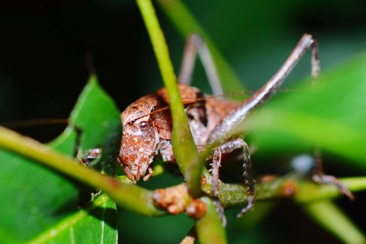 Grasshopper Nature EyeEm Nature Lover Popular Photos Snapshots Of Life Macro_collection Nikonphotography