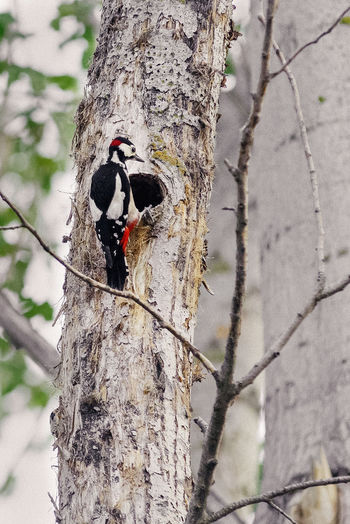 Aves Beauty In Nature Bird Day Dendrocopos Major Great Spotted Woodpecker Naturaleza Nature Outdoors Pajaro Wildlife Pajaro En Tronco Pico Picapinos Birds Birdwatching Vogels Vogel Branch Perching Woodpecker Animal Themes No People Birds_collection Birds_n_branches