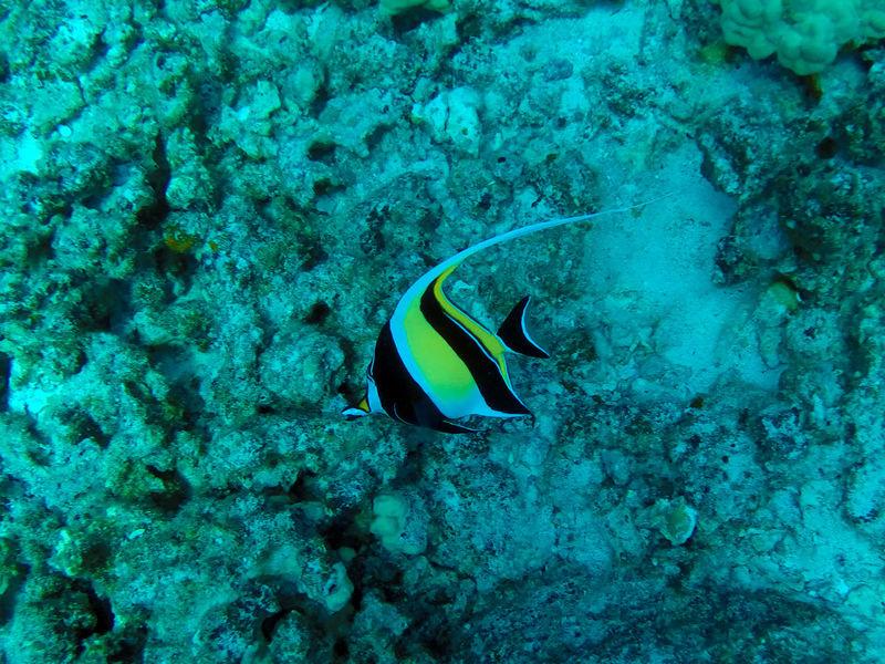 Fish Hawaii Hawaiian Moorish Idol SCUBA