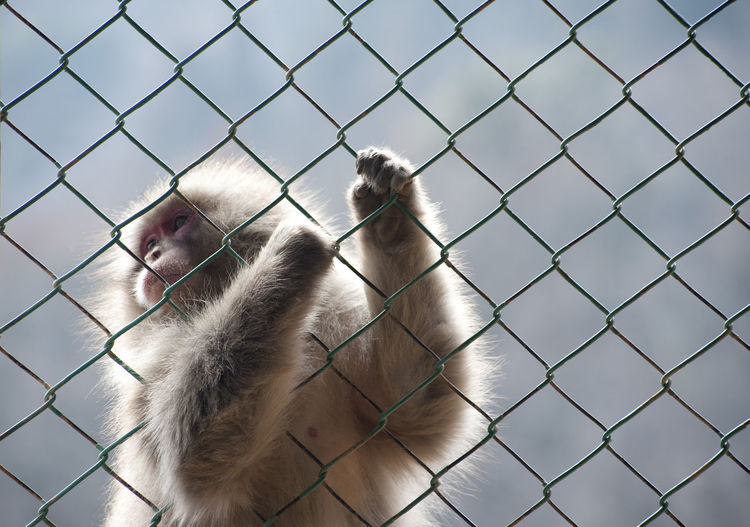 Japanese Macaque Holding Chainlink Fence At Iwatayama Monkey Park