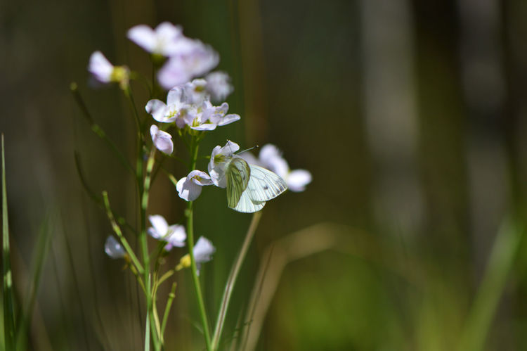 Cabbage butterfly on cuckoo flower... Flower Nature White Color Close-up Day Plant Outdoors Fragility Grass Springtime Beauty In Nature No People Flower Head Freshness Cabbage Butterfly Butterfly Cuckooflower Cuckoo Flower Meadow Tranquility Botany Macro Animals In The Wild Animal Themes Cabbage White Butterfly