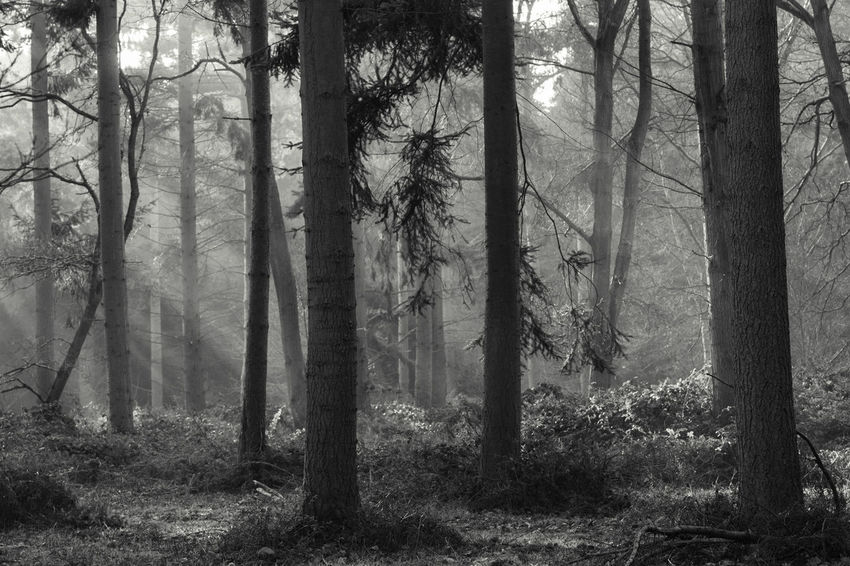 Tree Tree Trunk Forest WoodLand Branch Nature Tree Area No People Day Spooky Outdoors Fog Beauty In Nature Marks Hall Landscape Wilderness Area Beauty In Nature Scenics WoodLand Sun Beams The Great Outdoors - 2016 EyeEm Awards