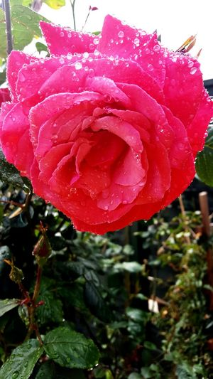 Roses🌹 My Garden Flower Green Fingers Relaxing Moments Beautiful Smell Water Me Water Drops On Petals. Through My Eyes Loving Life!