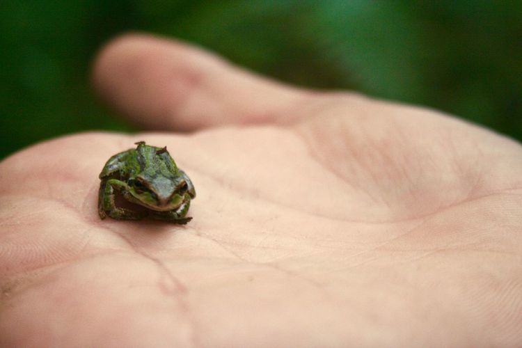 Close-up of hand holding tiny frog