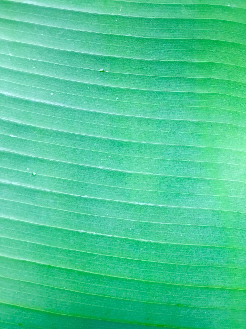green color, backgrounds, leaf, palm leaf, frond, nature, full frame, palm tree, textured, close-up, freshness, no people, beauty in nature, tree, fragility, banana leaf, day, outdoors