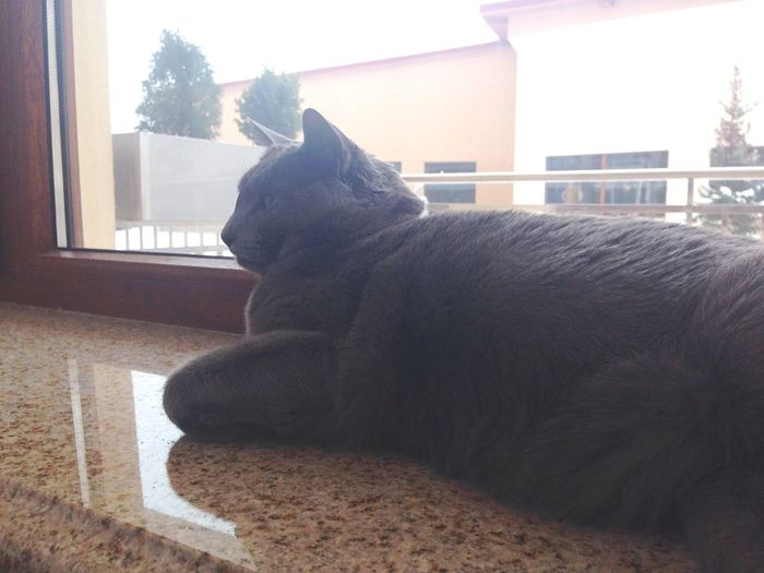Behemot Winter Russian Blue Russian Blue Cat Winter Holidays Hotel Room View