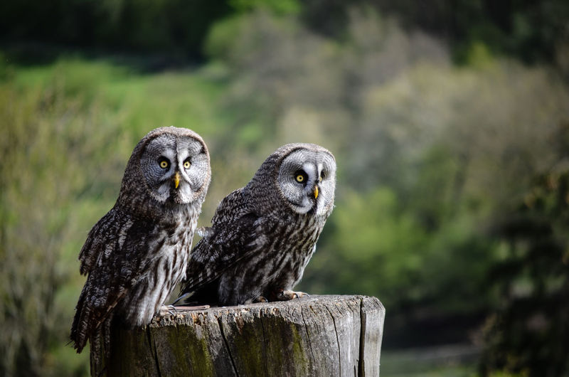 Owls Perching On Wood At Field