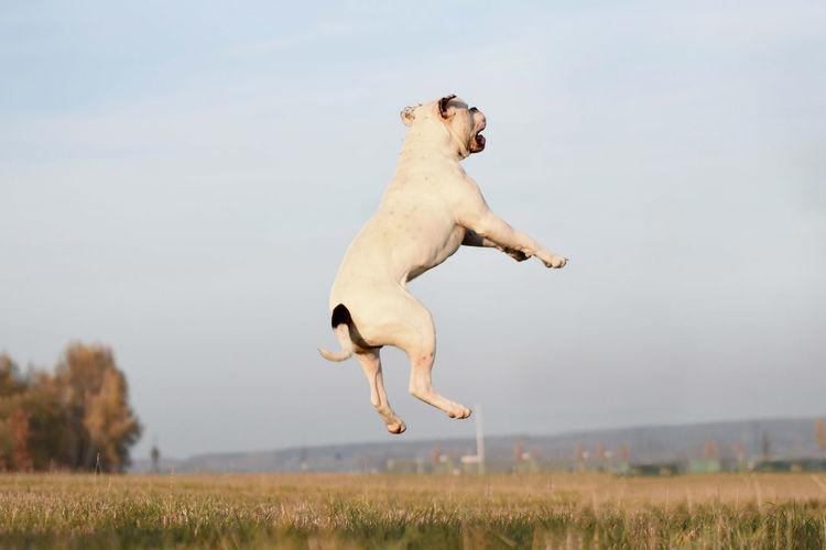 Sprung.. Satz.. Sieg. Bulldog Jumping Full Length Mid-air Motion Sky Grass