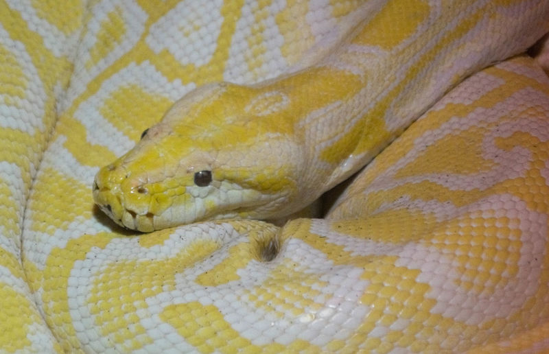 An albino Reticulated Python in Bergen Aquarium, Norway. Reticulated Python Albino Albino Retic Animal Animal Body Part Animal Eye Animal Head  Animal Scale Animal Skin Animal Themes Animal Wildlife Close-up Curled Up Indoors  No People One Animal Pattern Python Reptile Snake Vertebrate Yellow