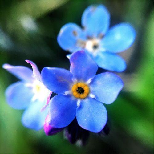 Macro Nature Flower Blue Nomeolvides