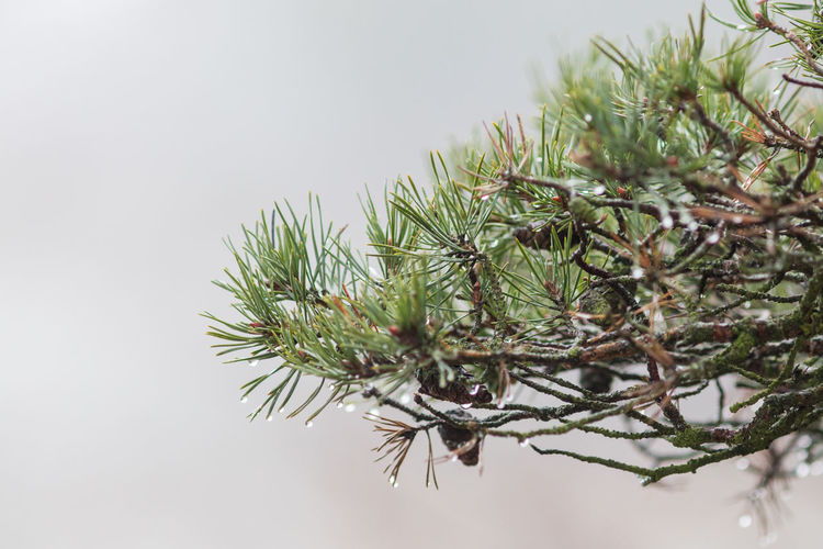 Beauty In Nature Branch Close-up Day Fog Growth Nature Nature No People Outdoors Pine Cone Pine Tree Seaside Sweden Tree