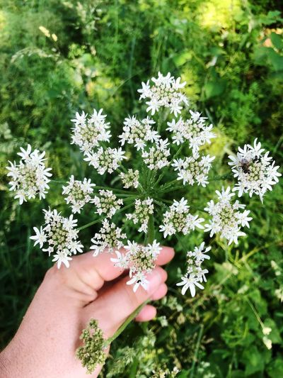 Cropped hand of person touching cow parsley flowers