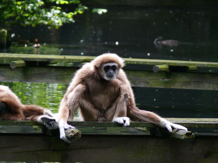 Gibbons over pier on lake at wuppertal zoo