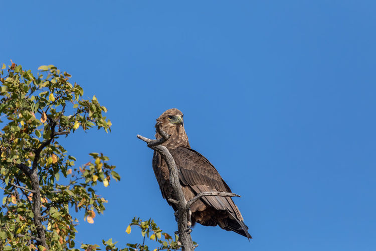 Low angle view of eagle perching on a tree