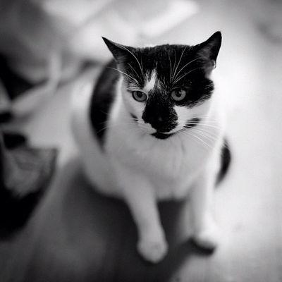 Субботний чб кот Cat Kitty Monochrome 35 mm black white bokeh instacat catoftheday view