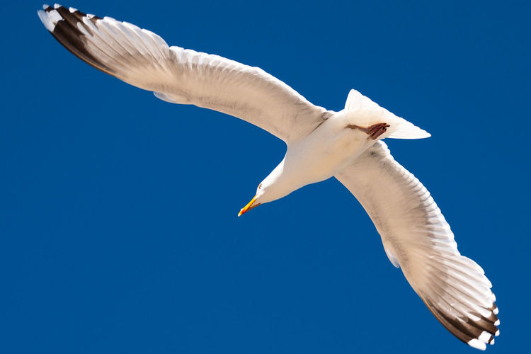 Animal Animal Themes Animal Wildlife Animals In The Wild Bird Blue Blue Sky Clear Sky Day Flight Flying Go-west-photography.com Low Angle View Mid-air Motion Nature No People One Animal Seagull Sky Spread Wings Vertebrate White White Color