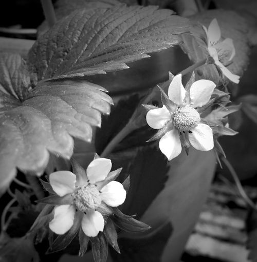 My Friday b&w post.... Black And White Flower Collection Black And White Photography Black And White Strawberry Plant Flowers,Plants & Garden Flower Photography Flowers, Nature And Beauty Flower Collection June 2016 Summer 2016