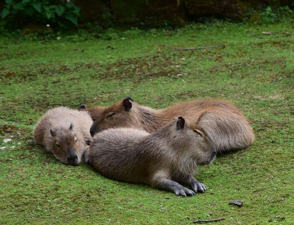 Capibara Animals In The Wild Grass Animal Wildlife Outdoors Animal Themes Day Nature