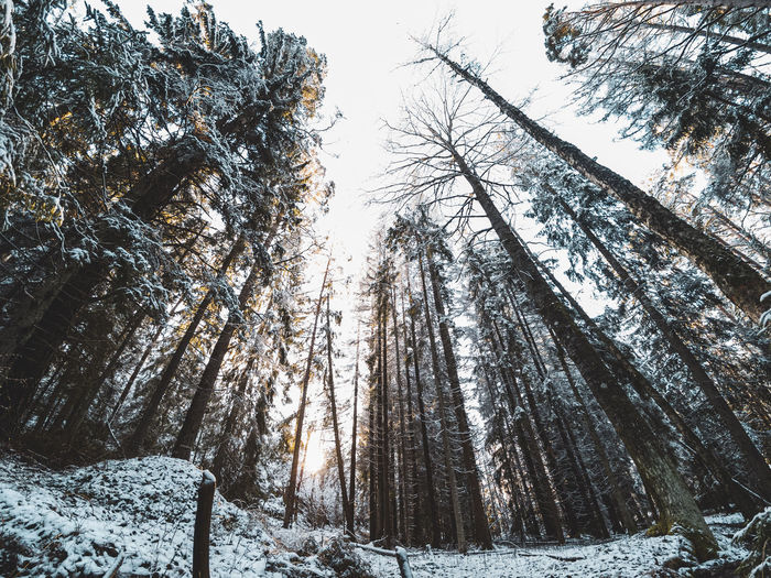 Low angle view of pine trees in snow covered forest