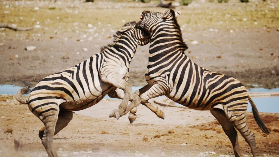 Side view of zebras fighting