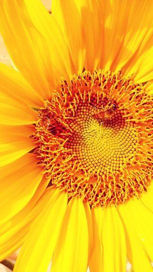 Que Se Mistura às CoresGirassol Flor Amarela Bee Abelha EyeEm Nature Lover Naturephotography Fractal Flowers Flor E Abelha