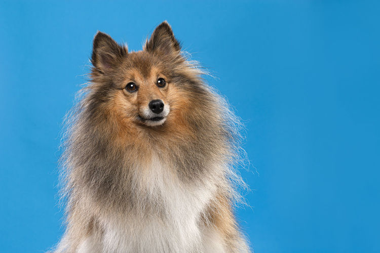 Close-up of a dog over blue background
