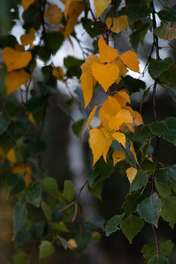 Fall Colors Tadaa Community Beauty In Nature Birke Branch Change Close-up Day Focus On Foreground Fragility Freshness Growth Leaf Leaves Natural Condition Nature No People Outdoors Plant Plant Part Selective Focus Tree Vulnerability  Yellow