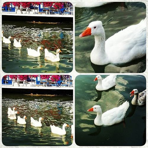 Sava Savskikej Novibeograd River duck photooftheday photogrid