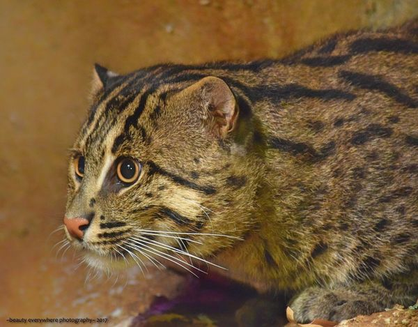 Fishing cat portrait Fishing Cat Animals In The Wild Mammal Animal Wildlife No People Close-up Outdoors EyeEmNewHere