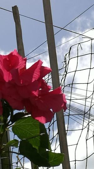 Low Angle View Outdoors Sky Metallic Fence Hibiscus 🌺 Dark Pink Flower Beauty In Nature