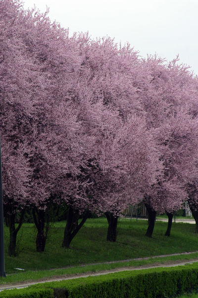 Branch Beauty In Nature Beginning Bloom Blooming Blossom Earliest Easter Flora Flower Flowering Freshness Fruit Garden Growth Nature Pink Purity Seasons Serenity Softness Spring Tree
